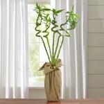 Lucky Ever Bamboo